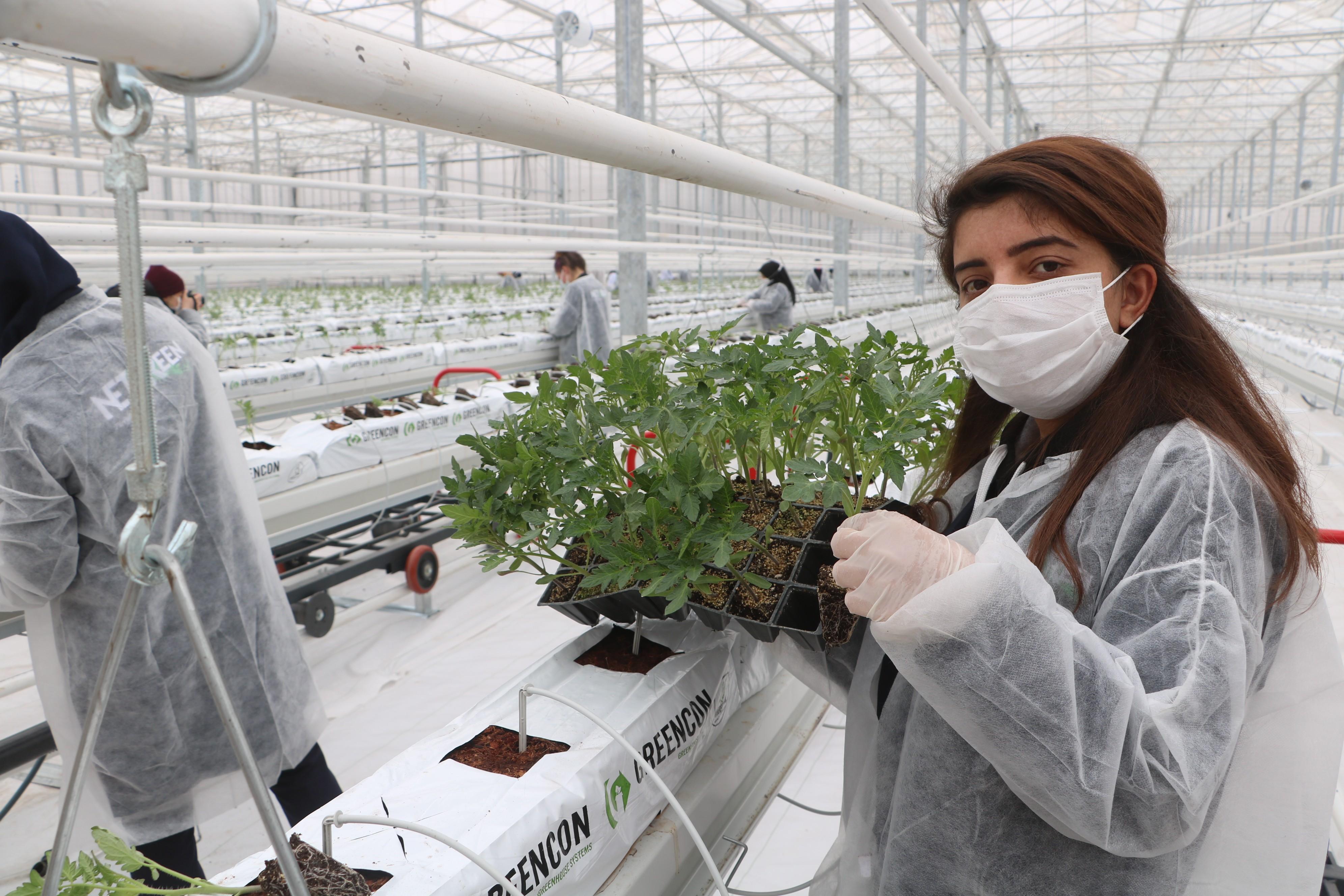 """<p>Türkiye'nin en soğuk illerinden biri olan Sivas'ta yaz aylarında bile domates tarımı yapılamazken, jeotermal enerji ile kara kışta domates üretilecek.</p> <p></p> <p>Sivas'ta iki dönem belediye başkanlığı yapan iş adamı Sami Aydın, geliştirdiği proje ile Sivas'ta bir ilke daha imza attı. Aydın, Sıcak Çermik Termal bölgesinde 60 dönümlük dev bir sera kurdu. Jeotermal enerji ile ısıtılan cam serada, Sivas'ın dondurucu soğuklarında bile tarım yapılması amaçlanıyor. Sivas'ta ilk olan proje kapsamında bugün ilk olarak 120 bin domates fidesi toprakla buluşturuldu. İlk fide dikimi Sivas Valisi Salih Ayhan, Sivas Belediye Başkanı Hilmi Bilgin ve protokol üyelerinin katılımlarıyla gerçekleşti.</p> <p></p> <p>Basın mensuplarına açıklamalarda bulunan Vali Ayhan, """"Sivas çok büyük bir değer kazandı. Çok yüksek bir teknoloji ve ufuk açan bir hizmeti Sivas'a katma değer üretecek bir projeyi Sivas'a kazandırdı. Sami Bey'i tebrik ediyorum cesaretinden dolayı. Gerçekten beni en çok heyecanlandıran projelerden birisi olduğunu söyleyebilirim. Her alanda Sivas gelişiyor ama tarım alanında bambaşka bir gelişme var. Sivas'ın tarımda çok iyi bir ivme kazandığını söyleyebilirim. Termali sadece sağlık turizmi açısından değil, görsel ve kültürel amaçla kullanıyoruz Altınkale ile birlikte. Geleneksel çadır alanları, meydan düzenlemeleri, oteller ve bir de burası buraya adete ayrı bir katma değer kattı. Ben tebrik ediyorum. İnşallah ilimiz bu güzelliklerle adından söz ettirecek"""" dedi.</p> <p></p> <p>Sivas'ta bir ilki gerçekleştirerek termal akıllı sera projesini hayata geçirdiklerini belirten Aydın, """"Böyle bir tesisin ilk fide dikimini gerçekleştiriyoruz. Bu güzel anımızı, mutluluğumuzu bizimle paylaştığınız için başta değerli valim ve belediye başkanımız olmak üzere hepinize teşekkür ederim. Sivas'ta ilk sera projesi burası, modern bir sera. Bir diğer değişle, bu sera akıllı bir sera. Her şeyini sistem kontrol ediyor. Sivas'ın sıcak çermik suyu bu güne kadar sağlık için bir şifayken bundan """