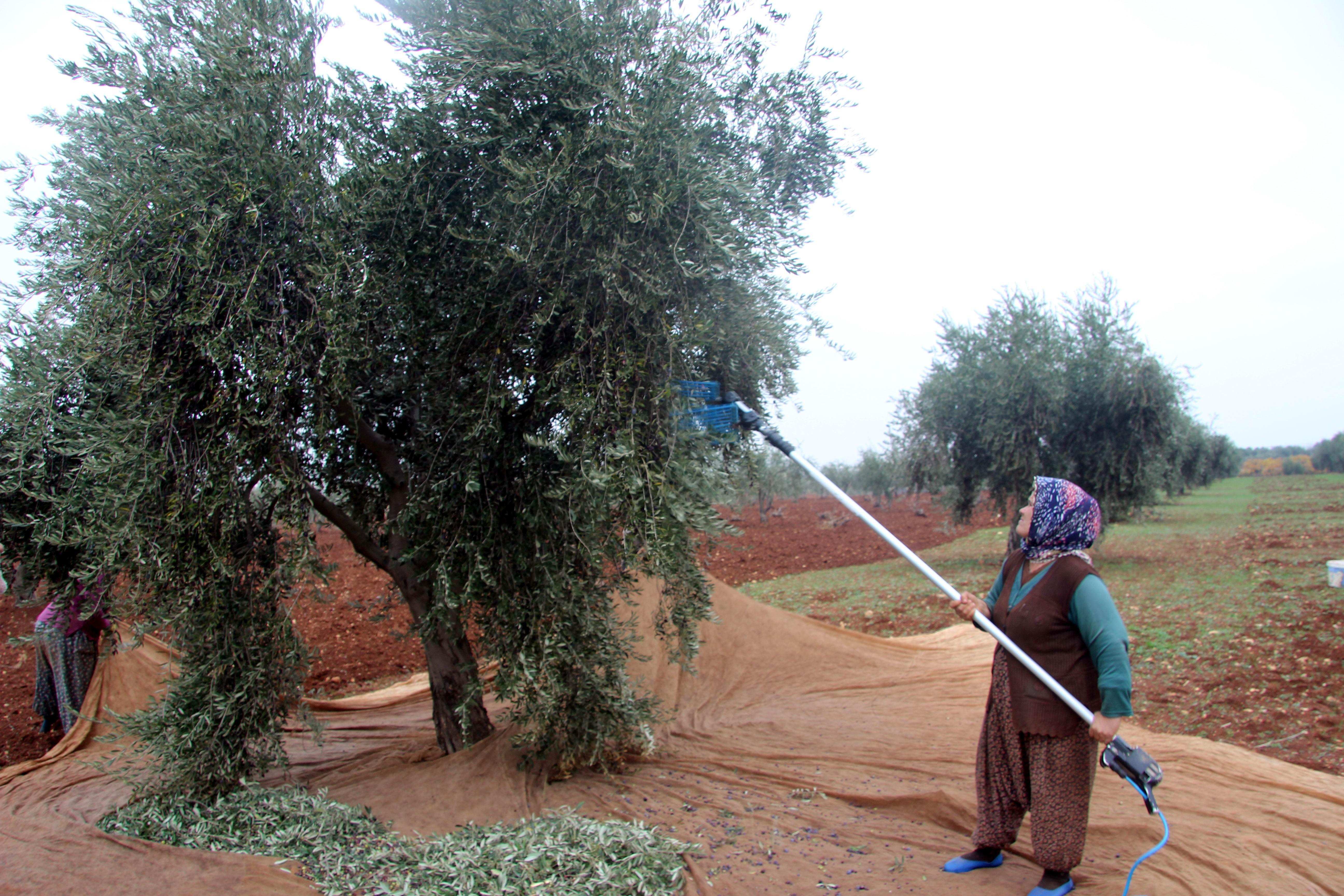 """<p>Türkiye'de, zeytin üretiminde önemli bir yeri olan Kilis'te zeytin hasadı sürerken, bu yıl zeytin rekoltesinde yüksek olması nedeniyle zeytin hasadı devam ediyor.</p> <p></p> <p>Kilis ve yöresinde bu yıl Ekim ayı içerisinde başlayan zeytin hasadının Aralık ayının sonuna ulaşılmasına rağmen zeytin hasadı sürüyor. Kilis'te zeytin bahçelerindeki zeytinlerin 4'de 3'ü toplandı. Rekoltenin yüksek olması nedeniyle bu yıl zeytin hasadının ocak ayında da devam etmesi bekleniyor. Kilis'te güneşli havalardan yararlanan zeytin üreticileri, zeytin hasadı için zeytin bahçelerine giderek hasada devam ediyor. Önceki yıllara oranla rekoltenin yüksek olduğu bu nedenle zeytinde var yılı olduğu bildirildi.</p> <p></p> <p>Zeytin ağaçları fazla olan üreticiler, bir an önce zeytinlerini toplayarak yağa dönüşmesi için canla başla çalışıyor. Zeytin üreticileri, zeytin hasadının devam ettiğini, havaların da iyi gitmesi nedeniyle zeytin toplamayı sürdürdüklerini, zeytinyağının kilosunun 20-25 TL arasında satıldığını ifade ettiler.</p> <p></p> <p>Zeytinyağı Fabrikası Sahibi Süleyman Mercimek, Zeytinde var yılı olduğunu ifade ederek, """"Sezonumunuz güzel geçiyor. Zeytin hasadının ocak ayının 15'ine kadar devem edeceğini düşünüyoruz. Zeytinyağının asit oranına göre 20-25 TL arasında değişen fiyatlarla acılı buluyor"""" dedi.</p>"""