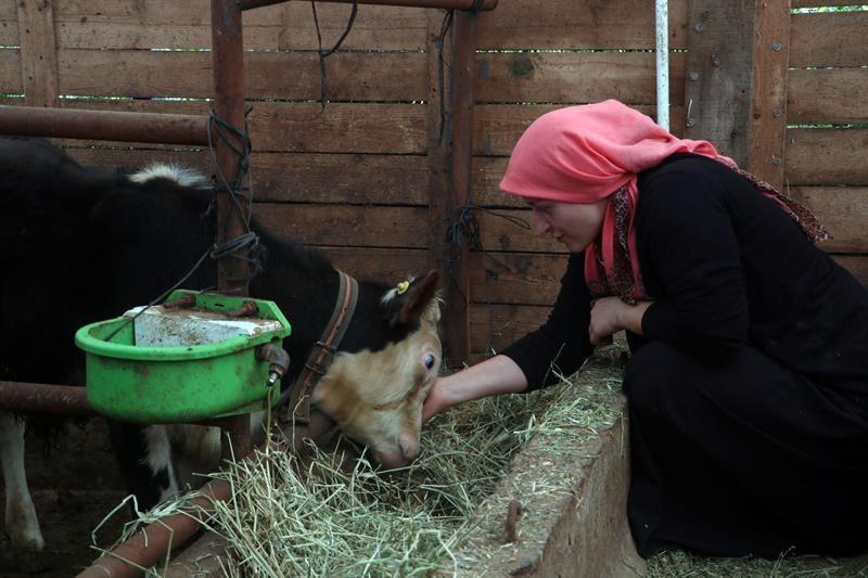 """<p>Trabzon'un Of ilçesinde Genç Çiftçi Projesi'nden yararlanarak besiciliğe başlayan ve sattığı süt ürünleriyle geçimini sağlayan Esra Çakır, siparişlere yetişemiyor.</p> <p></p> <p>Pandemi sürecinde doğal gıda ürünlere talep daha çok artarken, tüketiciler hayvansal ürünleri daha ziyade kırsal alanlardan tercih ediyor. Özellikle tereyağı, yoğurt, süt gibi ürünleri birinci elden almak isteyen tüketiciler zaman zaman üreticilerin ayağına kadar gittiği bile oluyor.</p> <p></p> <p>Esra Çakır, Tarım ve Orman Bakanlığı tarafından yürütülen Genç Çiftçi Projesi'nden 2017 yılında yararlanmak suretiyle İl Tarım ve Orman Müdürlüğü tarafından başvurusu onaylanarak kendisine 3 büyükbaş hayvan hibe edildi. Proje kapsamında ilçenin kırsal Sıraağaç Mahallesi'nde hayvan çadırı ve 3 büyükbaş hayvan hibe edilen Çakır, eşinin de desteğiyle zamanla hayvan sayısını 20'ye çıkardı.</p> <p></p> <p>Çakır, her sabah ilk iş olarak Çınar, Kıvırcık, Nazlı, Benekli, Çıtır ve Tavşan gibi isimlerle çağırdığı hayvanlarıyla tek tek ilgilenerek bakımlarını yapıyor. Hayvanlarından elde ettiği süt ürünlerini komşularına doğrudan sattığını belirten Çakır, """"Bazı hayvanlarımı yaylaya gönderdim, orada yağımız, peynirimiz oluyor. Ekmek kapımız burası dedi.</p> <p></p> <p>Çakır'ın eşi Bayram Ali Çakır da hayvanlar sayesinde geçimlerini sağladıklarını ifade edere Her yıl kurbana 3-4 hayvan yetiştiriyoruz. Bu iş ekonomimize büyük katkıda bulunuyor. İlçemizdeki bütün kadınların bu şekilde ekonomilerine katkıda bulunmalarını isterim diye konuştu.</p>"""